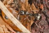 K5D1648-Ant.jpg