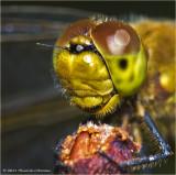 K5D7831-Dragonfly.jpg