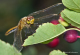 K5D7977-Dragonfly.jpg