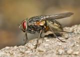 K5D8163-Flesh Fly.jpg