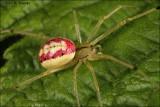 Candy Stripe Spider (Enoplognatha ovata)