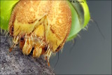 Polyphemus Moth (Antheraea polyphemus) Catapillar Portrait