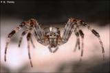 Barn Spider (Araneus cavaticus) on the web