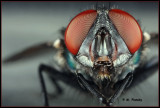 Bottle Fly portrait