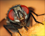 Bottle fly eating an apple