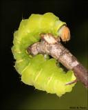 Polyphemus Moth (Antheraea polyphemus) Catapillar