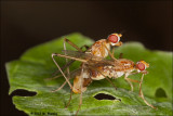 marsh flies (Sciomyzidae) mating