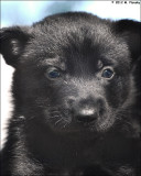 4 week old Black gsd pup