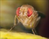 Fruit fly (Drosophila melanogaster) Portrait