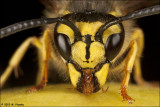 Yellow Jacket Wasp (vespula vulgaris)