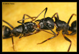 Ant Trophallaxis