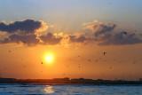Gannets at Sunset