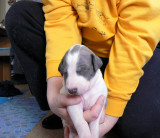 White and Blue Brindle male 3 weeks old