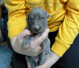 Blue Brindle Girl 3 weeks old