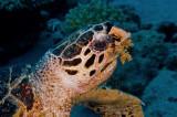 Hawksbil Turtle (Eretmochelys imbricata)