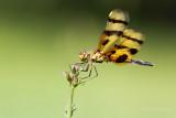 Dragon fly 2 pb.jpg