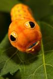 Spicebush Swallowtail Caterpillar pb.jpg