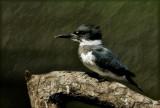 Belted Kingfisher da pb.jpg