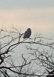 Immature Snowy Owl pb.jpg