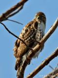 Imm Red Tail Hawk pb.jpg