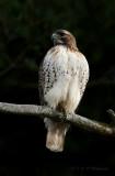 Red Tail Hawk pb.jpg