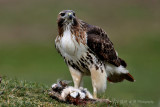 Red Tail with prey pb.jpg