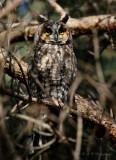 Long-Eared Owl pb.jpg