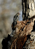 Juvenile Yellow-bellied sapsucker pb.jpg