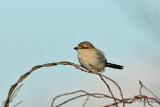 Northen Shrike pb.jpg