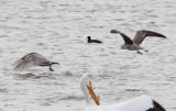 Thayer's Gull - Lesser Black-backed Gull