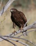 dark, juvi Red-tailed Hawk