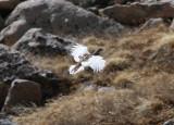 White-tailed Ptarmingan