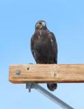 Rough-legged Hawk (dark form)