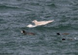 Iceland Gull (ostensible)