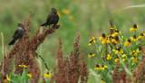 Female redwing blackbirds