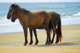 Wild Horses of the Outerbanks
