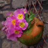 Joan's primroses