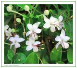 Night Scented Jasmine