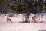 January 28th 2011 - Axis Deer - 1611.jpg