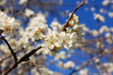 March 5th, 2011 - Blossoms - 1778.jpg