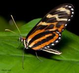 Variable Tigerwing