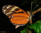Cream-spotted Tigerwing (tentative identification)