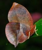 Scarlet Leafwing