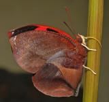 Scarlet Leafwing II