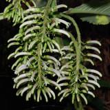 Cyanea Pilosa Flowers