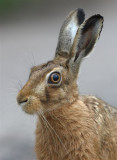 Hare Images