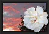 An Evening Rose-Split  Sunset Sundae Santa Monica