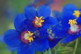 blueflower1-copy.jpg