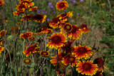 Indian Blanket Flower on Watts Valley Road
