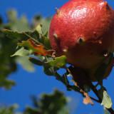 oak gall - Barry